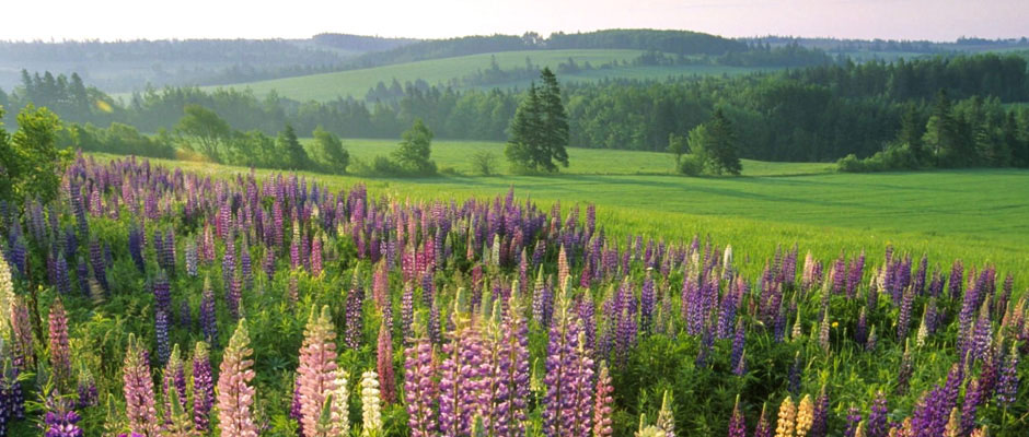 Spring Lupines in Waterville Valley NH